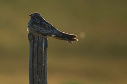 Common Nighthawk perched on a fence post backlit