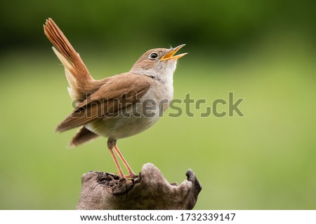 Photo of  Common Nightingale (Luscinia megarhynchos), beautiful small orange songbird with long turned up tail, standing on on branch and singing. Diffused green background. Scene from wild nature.