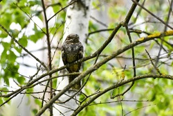 Common nightjar, wild nocturnal bird in the wild, sits on a tree branch, on a bright spring day, close-up. Nightjar with grayish-brown plumage, large eyes, short beak and short legs.