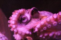 Common Octopus (Octopus Vulgaris) underwater in an aquarium.