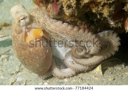 Common Octupus, picture taken in Palm Beach County, Florida.
