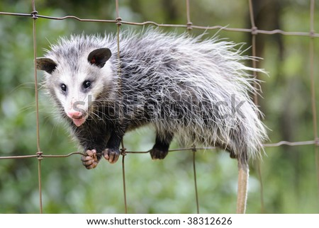 Common Opossum (Didelphis marsupialis) climbing a fence