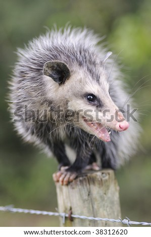 Common Opossum (Didelphis marsupialis) sitting on a fence post