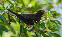 common or eurasian blackbird (turdus merula) on cherry twig