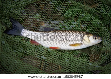Common or european chub in the fisherman net during sport angling under catch and release rule. Ultralight Autumn fishing in the rivers in Czech Republic to be use soft lures and sensitive fishing rod
