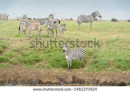 Common or Plains Zebra (Equus quagga) herd standing on the plain at river in the Ngorongor crater, Ngorongoro crater national park, Tanzania #1482291824