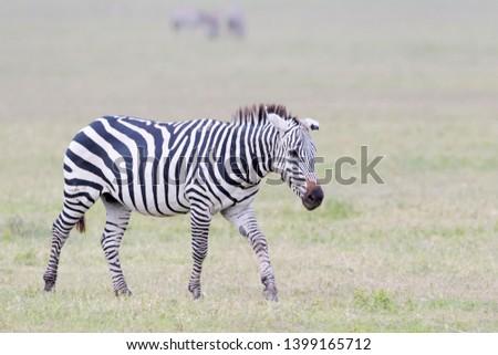 Common or Plains Zebra (Equus quagga) walking on the plain in the Ngorongoro crater, Ngorongoro crater national park, Tanzania #1399165712
