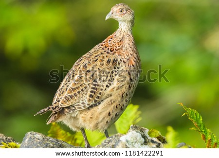 Common, or ring-necked Pheasant, young, female, or hen pheasant perched on top of a drystone wall in the Yorkshire Dales, England, UK.  Scientific name: Phasianus colchicus