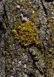 Common Orange Lichen or Yellow Scale or Maritime Sunburst Lichen  Xanthoria parietina