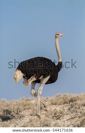 Shutterstock Common ostrich (Struthio camelus), Etosha National Park, Namibia