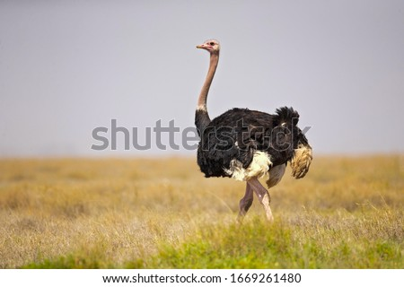 common ostrich (Struthio camelus), or simply ostrich, is a species of large flightless bird native to certain large areas of Africa.