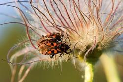 Common pasque flower (pulsatilla vulgaris) with firebugs (Pyrrhocoris apterus)