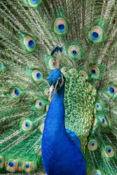 Common Peafowl (Pavo cristatus) in zoo, Moscow, Russia