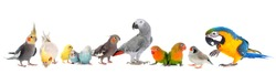 common pet parakeet, African Grey Parrot, lovebirds, Zebra finch and Cockatielin front of white background