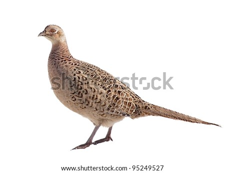 Common Pheasant female isolated on white background, Phasianus colchicus