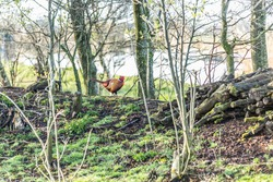 Common Pheasant, Phasianus colchicus, a rooster with bright red mask in its natural habitat of a forest edge with trees and bushes ground overgrown with grass and moss