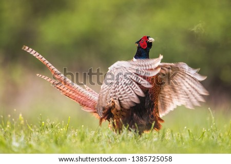 Common pheasant, phasianus colchicus, male calling during breeding season. Wild bird in nature showing off in mating season with wings spread wide and beak open