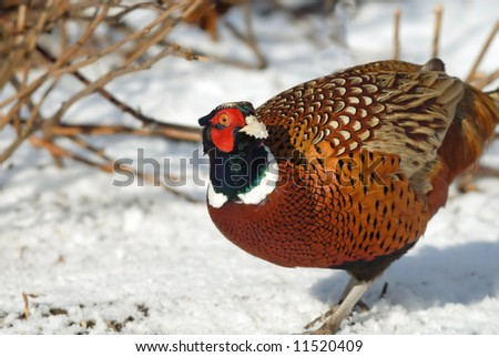 Common Pheasant portrait