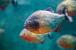Common piranha is a danger to people. The length of its body can reach up to 60 cm, but usually there are specimens with a length of 25 to 35 cm. Young animals up to eight months of age are painted ve
