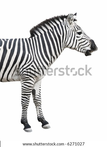 Common (Plains or Burchell's) zebra looks like talking or smiling. Isolated on white background.