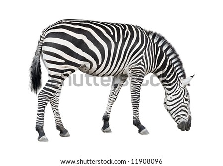 Common plane zebra isolated on white background