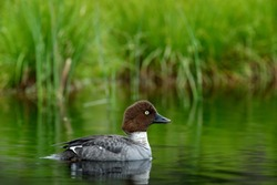 Common pochard, Aythya ferina, is diving duck from Europe. Bird in the beautiful habitat, bird with cotton grass. Summer in the Finland. Wildlife scene from nature. Duck in the water.