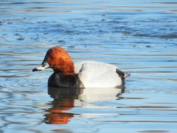 Common Pochard in blue water. Bird has been protected in Finland.