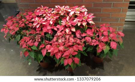 Common Poinsettia Christmas flower