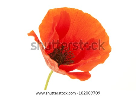 Common Poppy flower on a white background