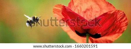 Common Poppy (Papaver rhoeas) and flying Large Earth Bumblebee  Stock photo ©