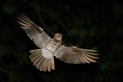 Common Potoo, Nyctibius griseus, nocturnal tropical bird in flight with open wings, night action scene, animal in the dark nature habitat in Arnos Vale on Trinidad and Tobago.