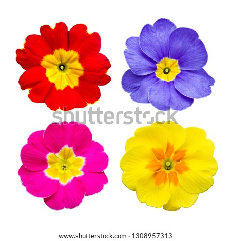 Common primrose collage in different colors