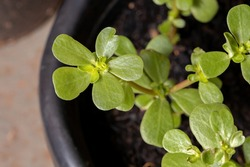Common Purslane plant of the species Portulaca oleracea
