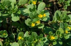 Common purslane (Portulaca oleracea) also known as verdolaga or pigweed