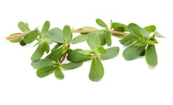 Common purslane Portulaca oleracea leaves. Clipping paths