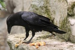 Common raven (Corvus corax) eating dead chicken. Wild life animal.