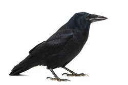 Common Raven Corvus corax, isolated on white background.
