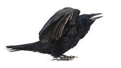 Common Raven Corvus corax, isolated on white background with open wings.