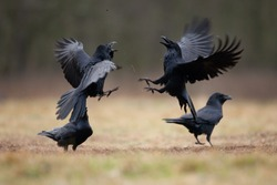 common raven, corvus corax, northern raven