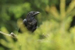 Common raven (Corvus corax) sitting on the spruce twig. Portrait of a raven.