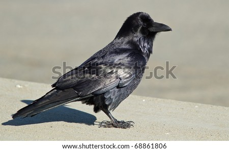 Common Raven (Corvus corax). The Common Raven, also known as the Northern Raven, is a large, all-black passerine  bird.