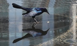 common raven in with its reflect. beautiful feathers. looking for some food