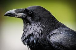 Common Raven, Jasper National Park Alberta Canada