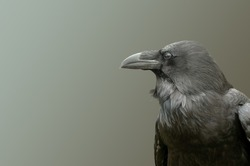 Common Raven, Jasper National Park Alberta Canada.