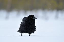 Common raven on snow