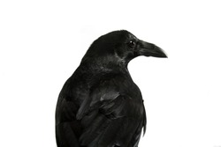 Common Raven portrait isolated on white