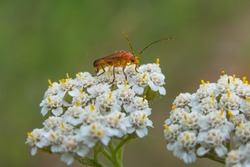 Common red soldier beetle also known as the bloodsucker beetle (Rhagonycha fulva) covered with pollen while feeding on a white flower