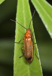 Common red soldier beetle (Rhagonycha fulva) sitting on leaf. Macro photo.