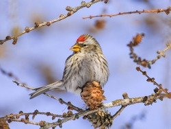 Common redpoll (Acanthis flammea) in the Finnish winter