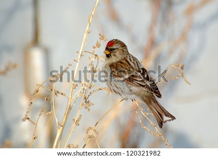 Common Redpoll bird, a woman was sitting on the dead stems of sagebrush eat seeds in winter.
